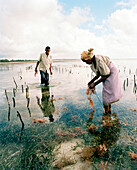 Woman with grandson harvesting seaweed in the fields ahead Jambiani village, Zanzibar, Tanzania, East Africa