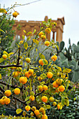 Citron at Temple of Concordia in the valley of temples, Agrigento, province Agrigent, South Coast, Sicily, Italy