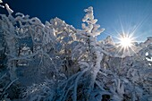 Beech forest in hoar frost, Col de la Schlucht, Vosges, Alsace, France