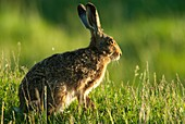 European brown hare Lepus capensis europaeus, sitting in grassland, spring, Hungary