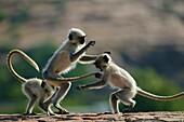 Hanuman langur Presbytis entellus, Common langur, Grey langur, group of playing cubs, Mandore Garden, Jodhpur, Rajasthan, India