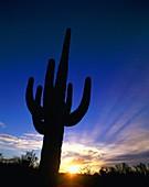 arid, Arizona, barren, cactus, desert, dry, plant, . America, Arid, Arizona, Barren, Cactus, Desert, Dry, Holiday, Landmark, Plant, Saguaro, Silhouette, Sunrise, Sunset, Tourism, Tr