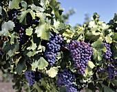 Adelaide, Australia, Barossa Valley, Cabernet Grape. Adelaide, Australia, Barossa valley, Cabernet, Grapes, Holiday, Landmark, Nuriootpa, South australia, Tourism, Travel, Vacation