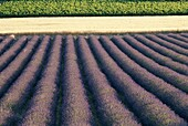 France, Grapevines, Lavender Fields, Provence, Saig. Fields, France, Europe, Grapevines, Holiday, Landmark, Lavender, Provence, Saignon, Tourism, Travel, Vacation, Wheatfields