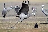 Spain, Aragon, Gallocanta lagoon, Crane  Grus grus, Order : Gruiformes, family : Gruidae