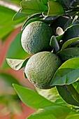 Green lemon, Limon, Citrus on branch, Miao, Arunachal Pradesh, India