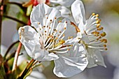 Two fresh wild cherry blossoms on a twig  Close-up  Macro  Open  Blossom with detailed stamens  White  Small cluster against blurred background