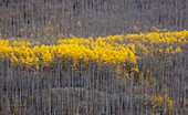 Jefferson, Colorado - Aspen trees in autumn in Kenosha Pass in Pike National Forest
