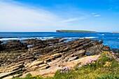 Birsay Bay BIRSAY ORKNEY Thrift springtime flowers rocky shore Brough of Birsay Orkney