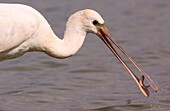 Common spoonbill Platalea leucorodia with a fish in its bill  This wading bird is found in southern Eurasia, Europe and North Africa  It migrates to the tropics in winter  It inhabits marshy wetlands and feeds on fish, frogs and other aquatic animals  Pho