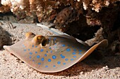 The bluespotted ribbontail ray Taeniura lymma is a species of stingray in the family Dasyatidae  Found from the intertidal zone to a depth of 30 m 100 ft, this species is common throughout the tropical Indian and western Pacific Oceans in nearshore, coral
