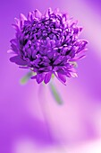 Perfect Lilac Aster Flower