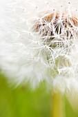 Heavenly and Fresh Dandelion Seed Head, Parachute Ball