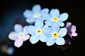 Gorgeous Blue Forget Me Nots, a Tiny Flower Filled with Sentiment