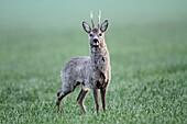 Roe Deer Capreolus capreolus, buck on alert, Germany