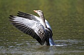 Greylag Goose Anser anser, gander flapping wings on lake displaying, Germany