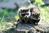 Raccoon Procyon lotor, two baby animals on tree stump, Germany