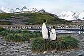 King penguin Aptenodytes patagonicus breeding and nesting colony at Salisbury Plains, Bay of Isles on South Georgia Island, Southern Ocean  MORE INFO The king penguin is the second largest species of penguin at about 90 cm 3 ft tall and weighing 11 to 16