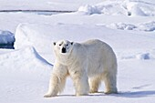 Adult male polar bear Ursus maritimus on multi-year ice floes in the Barents Sea off the eastern coast of Spitsbergen in the Svalbard Archipelago, Norway  MORE INFO The IUCN now lists global warming as the most significant threat to the polar bear, primar
