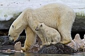 Mother polar bear Ursus maritimus with COY cub-of-year feeding on a fin whale carcass in Holmabukta on the northwest coast of Spitsbergen in the Svalbard Archipelago, Norway  MORE INFO The IUCN now lists global warming as the most significant threat to th