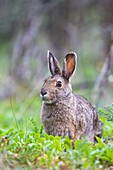 Adult snowshoe hare Lepus americanus dalli in Denali National Park, Alaska, USA  MORE INFO The snowshoe hare is primarily a herbivore, though it will occasionally scavenge meat  It is a nocturnal animal that does not hibernate in the winter