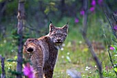 Adult Canada lynx Lynx canadensis in Denali National Park, Alaska, USA  MORE INFO The Canada Lynx is a secretive and mostly nocturnal animal, although it may be active at any time of day  Canada lynx feed predominantly on snowshoe hares in dense forest
