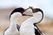 Antarctic shag Phalacrocorax atriceps bransfieldensis pair mutually preening each other on Weinke Island, Antarctica, Southern Ocean  MORE INFO This is the only blue-eyed shag species that does not move further north than the Antarctic Peninsula, even in