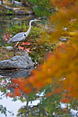 A gray heron wades in Shinji Pond in the Eastern Garden of Tojiin Temple, located in the northern part of Kyoto, Japan.