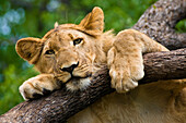 Africa, Zimbabwe, North Matabeleland province, Victoria Falls city, Victoria Falls Safari Lodge, Masuwe River Concession, African Lion Environment and Research Trust (ALERT), Lion Encounter, female lion (Leo Panthera)
