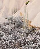 Tufa erosion near Uchisar, trees in blossom, Goereme National Park, UNESCO World Nature Site, Cappadocia, Anatolia, Turkey