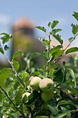 Apple tree near Warth castle, Castel Guardia, San Paolo, Trentino, Italy