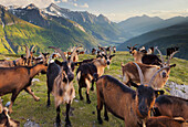 Mountain goats on an alpine pasture, View from Oberberg towards Pfitsch valley, South Tirol, Italy
