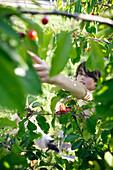 Boy picking cherries, Klein Thurow, Roggendorf, Mecklenburg-Western Pomerania, Germany