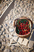 Basket full of cherries, Klein Thurow, Roggendorf, Mecklenburg-Western Pomerania, Germany