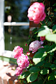 Climbing rose, Klein Thurow, Roggendorf, Mecklenburg-Western Pomerania, Germany