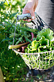 Basket full of fresh herbs, rhubarb and salat, Klein Thurow, Roggendorf, Mecklenburg-Western Pomerania, Germany