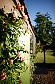 Roses on a farmer's cottage wall, Klein Thurow, Roggendorf, Mecklenburg-Western Pomerania, Germany