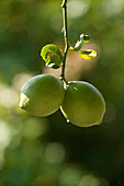 Two green lemons hanging from a lemon tree, Algarve, Portugal, Europe