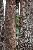 Land iguana, climbs tree at Bolivar Park, Guayaquil, Ecuador, South America