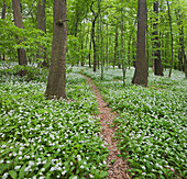 Hiking trail and blooming wild garlic at Vienna woods, 18th district, Vienna, Austria, Europe