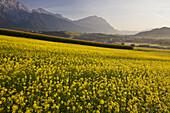 Rape field in Mieming, Mieminger Mountains, Tyrol, Austria