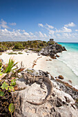 An iguana relaxing on a rock overlooking the beach, view towards the ancient Mayan buildings at the Tulum Ruins, Tulum, Riviera Maya, Quintana Roo, Mexico
