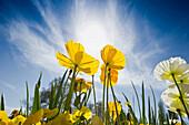 Yellow poppies, Mainau Island, Lake Constance, Baden-Wuerttemberg, Germany, Europe