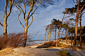 Dunes with beach trees and pine trees on the beach, Weststrand, Fischland-Darss-Zingst peninsula, Baltic Sea Coast, Mecklenburg Vorpommern, Germany
