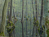 Tree reflection in the water, Carr, Erlenbruch, Mueritz National Park, Mecklenburg Vorpommern, Germany
