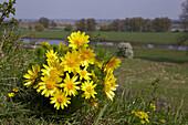 Flowering Adonis blossoms on the banks of the river Oder, Lebuser Land, Brandenburg, Germany