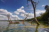 Beach driftwood in lake Stechlinsee, Stechlin-Ruppiner Land Nature Park, Brandenburg, Germany