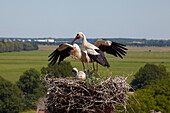 Stork's nest with Stork and chicks on the top of the village church, Linum, Brandenburg, Germany