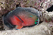 Protective Cocoon envelops Sleeping Parrotfish, Scarus sp., Baa Atoll, Indian Ocean, Maldives