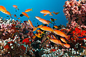 Shoal of Threadfin Anthias in Coral Reef, Nemanthias carberryi, Baa Atoll, Indian Ocean, Maldives